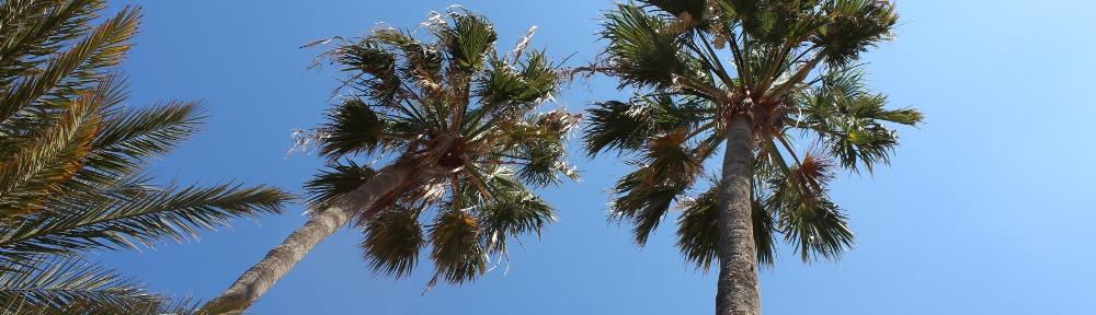 Palmen Gran Canaria